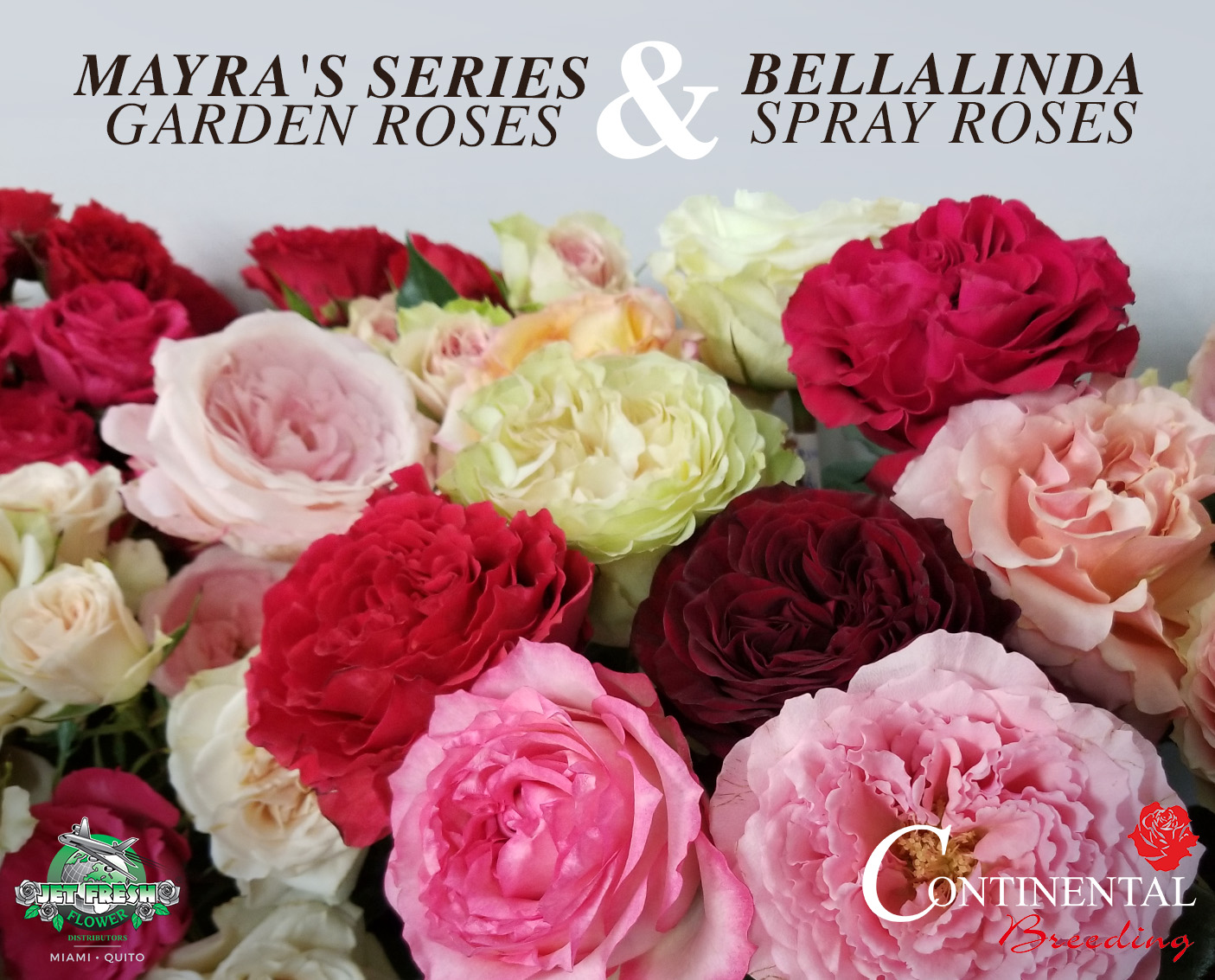 Roses In Garden: Mayra's Series Garden Roses And Bellalinda Spray Roses