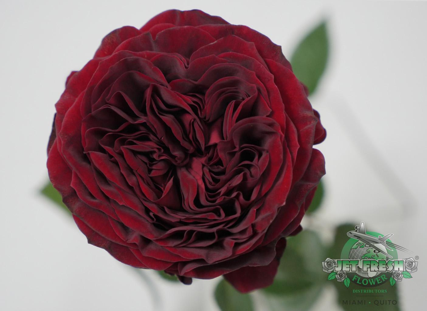 Roses In Garden: JF_GardenRoses_Red_MayrasRed_ContinentalBreeding_Varieties
