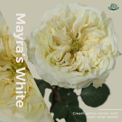 Mayrau0027s White Garden Rose