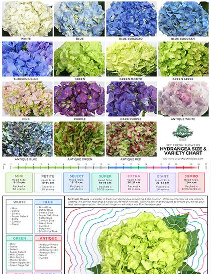 Hydrangea size chart