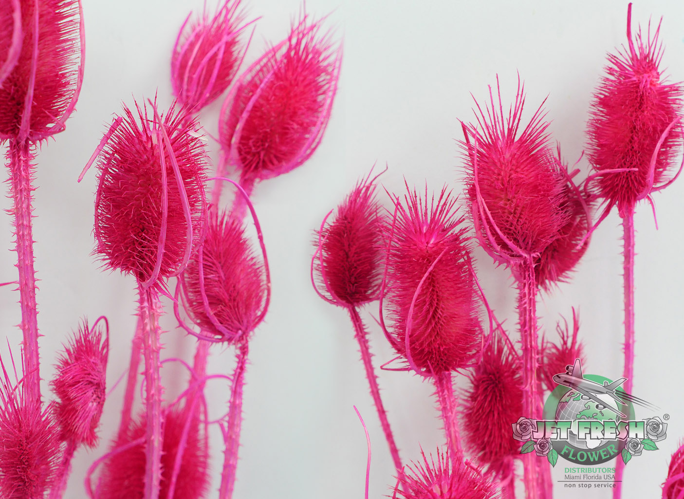 Dried Hot Pink Cardus