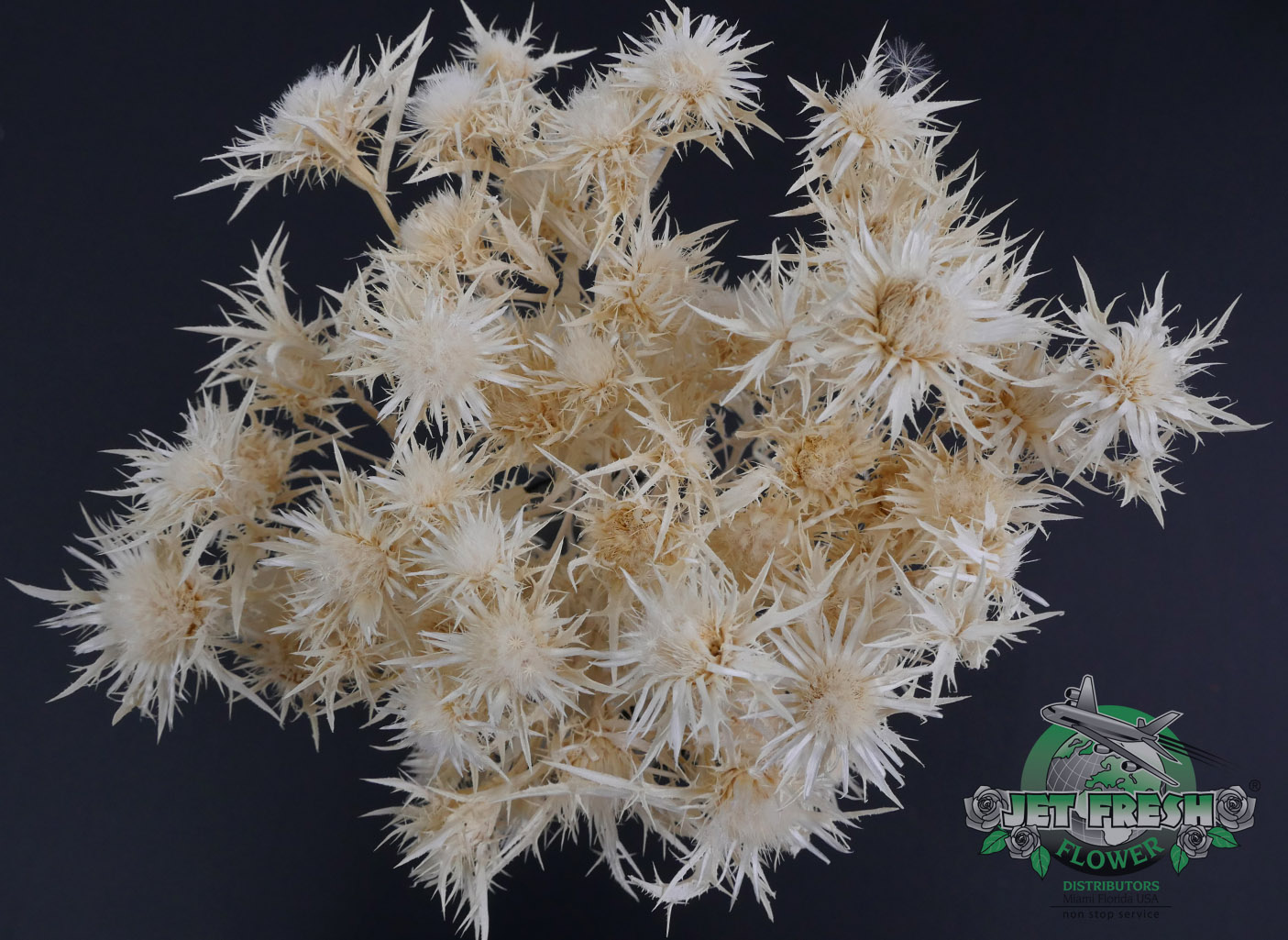Dried Bleached Wild Cardus