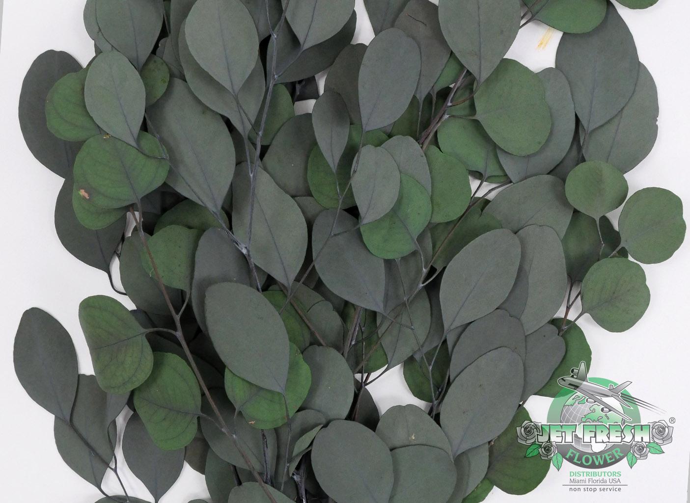 Preserved Populus Eucalyptus