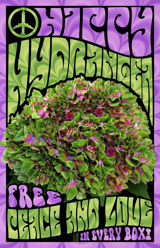 Hippy Hydrangea